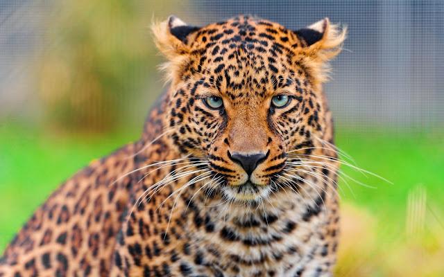Fotos de Tigres - Imagenes de Animales Salvajes Guepardos