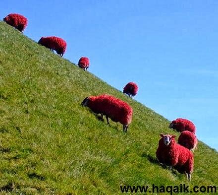 حقائق مذهلة: الخراف الحمراء في اسكتلندا بالصور !!