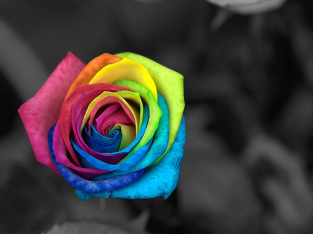 Colourfill rose