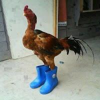 Gambar Lucu Ayam Jago