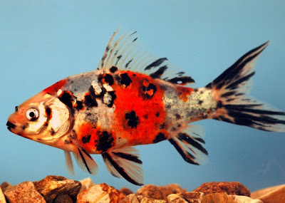 Shubunkin Goldfish 2