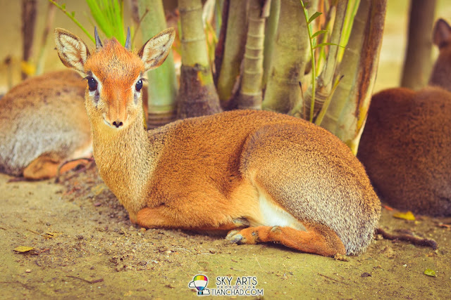 Kirk's dik dik @ Farm In The City 城の农场