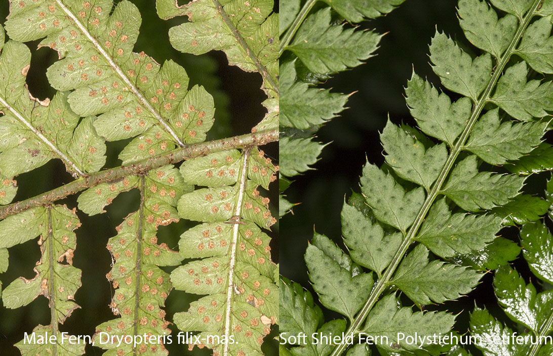 Male Fern, Drypoteris filix-mas, and Soft Shield Fern, Polystichum setiferum.  Pinnules compared.