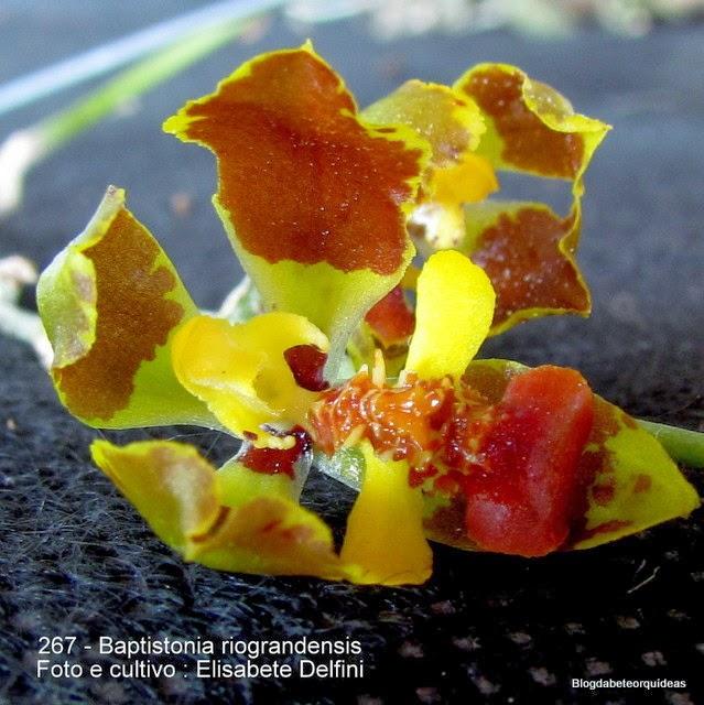 Oncidium albinii, Gomesa riograndensis, Oncidium riograndensis, Oncidium spegazzinianum, Oncidium pabstii, Oncidium x cassolanum, Baptistonia x cassolana, Baptistonia pabstii, Baptistonia albinii, Gomesa albinoi, Leochilus spegazzinianus, Gomesa pabstii