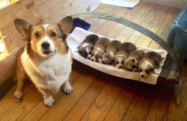 basanji dog with puppies