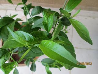 Cestrum showing new foliage