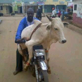 cow on bike picture