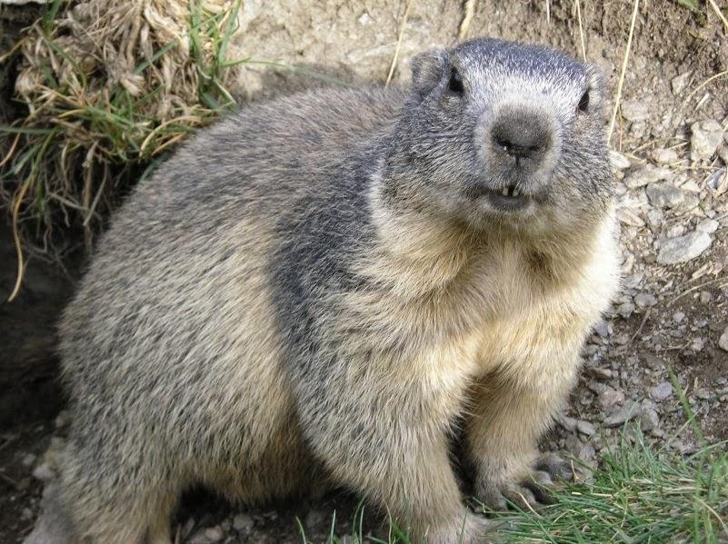 Marmota marmota Alpes2