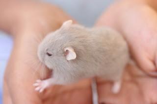 Hamster Dove