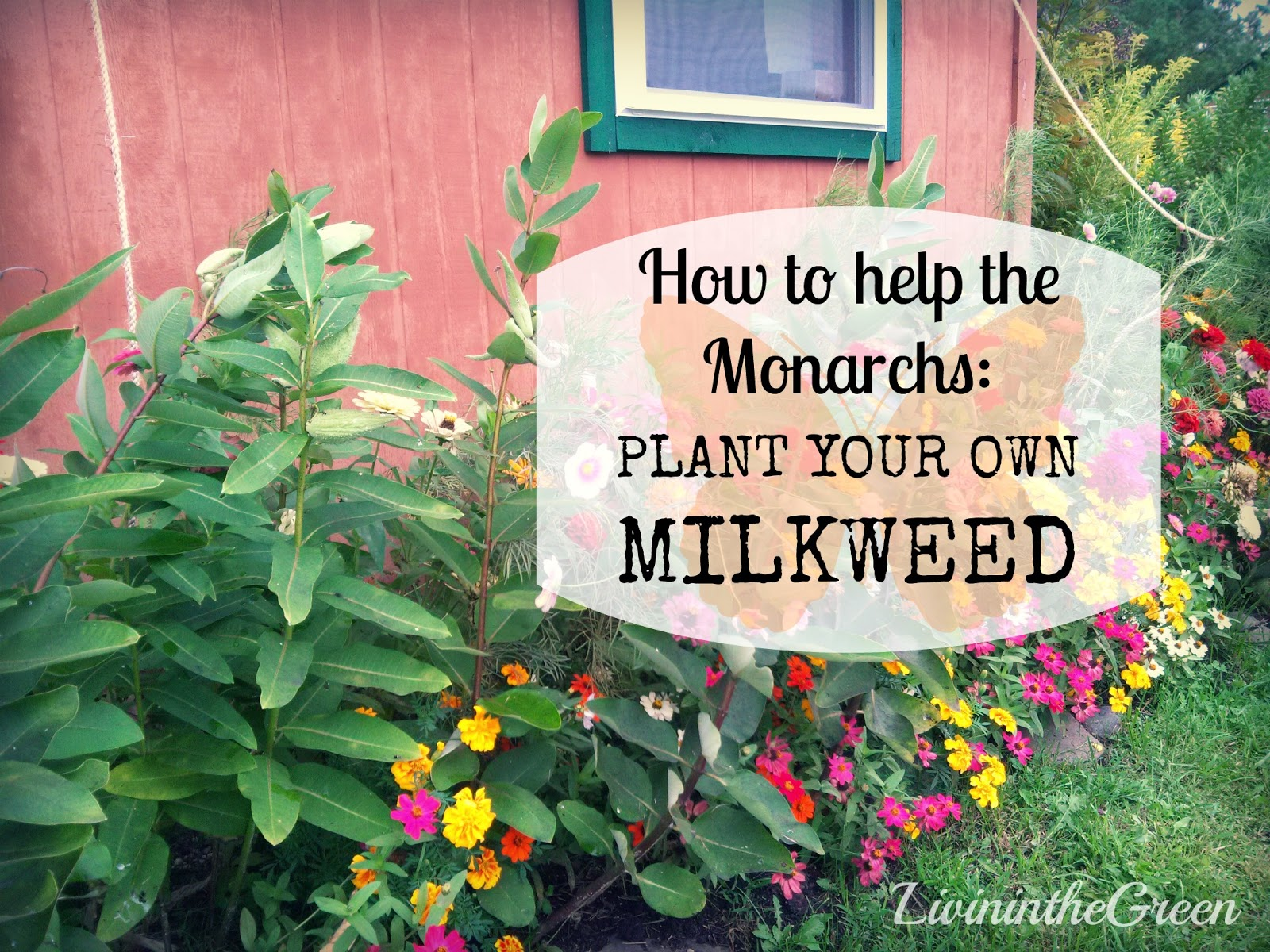 Helping Monarchs: Plant Your Own Milkweed