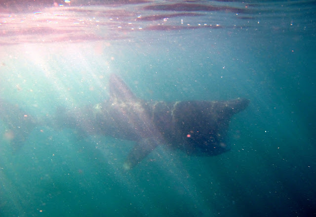 Swimming with a Basking Shark - Isle of Coll, Scotland