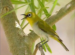 Burung Pleci