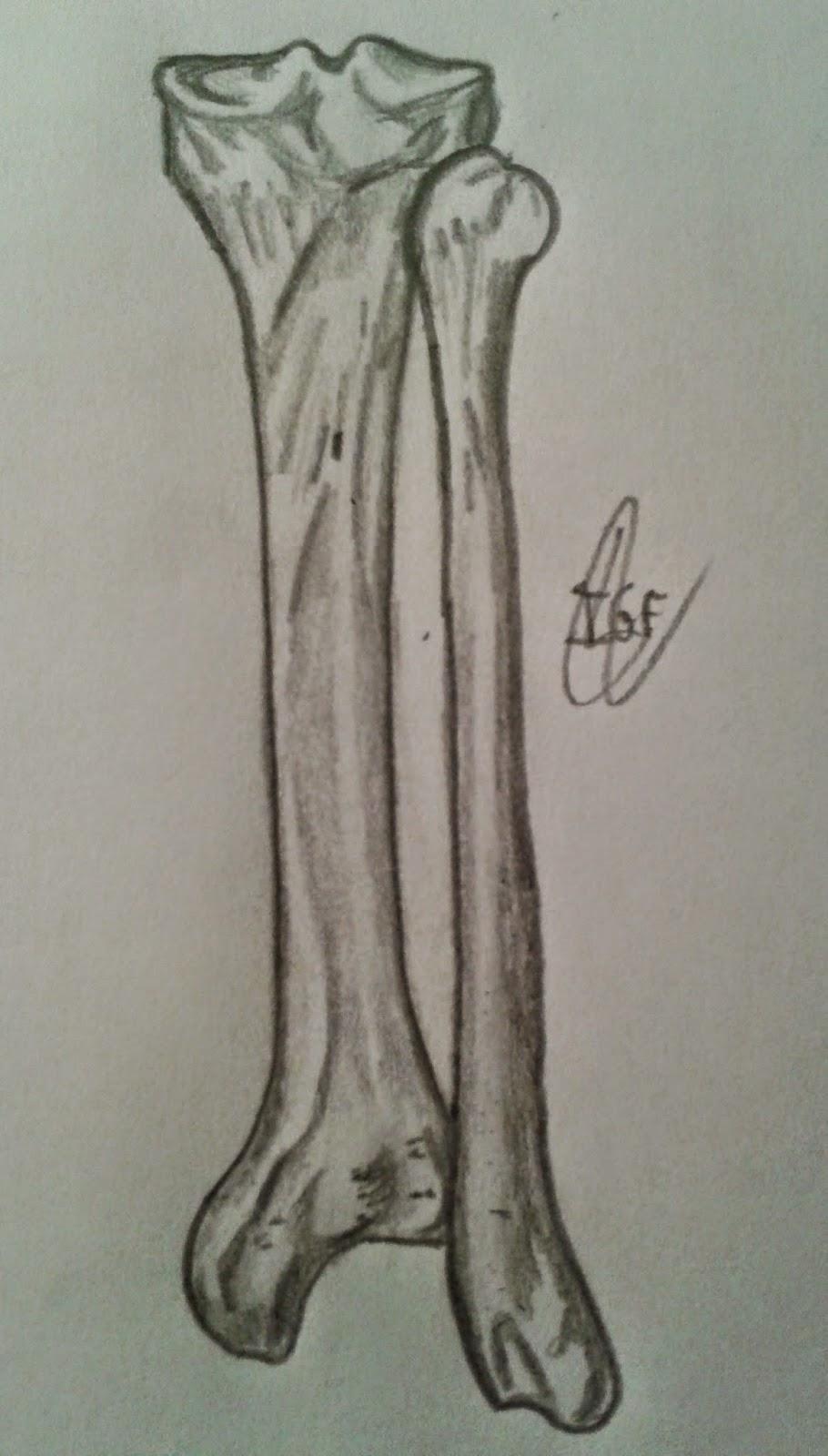 Gantxegi\'s Anatomy: Tibia y peroné: vista posterior