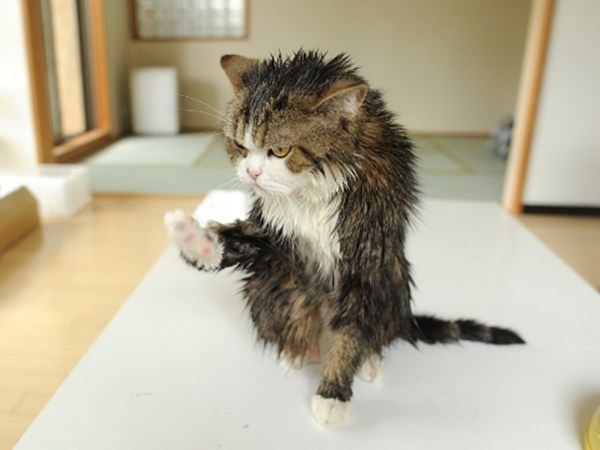 wet cat, funny cat pictures, funny cats