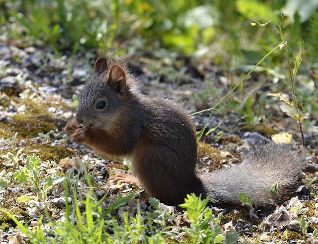 valokuva orava syömässä