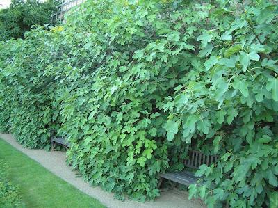 Cultivo de figo