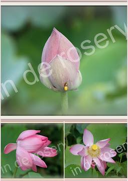 "setje 6:  ""lotusbloem"""