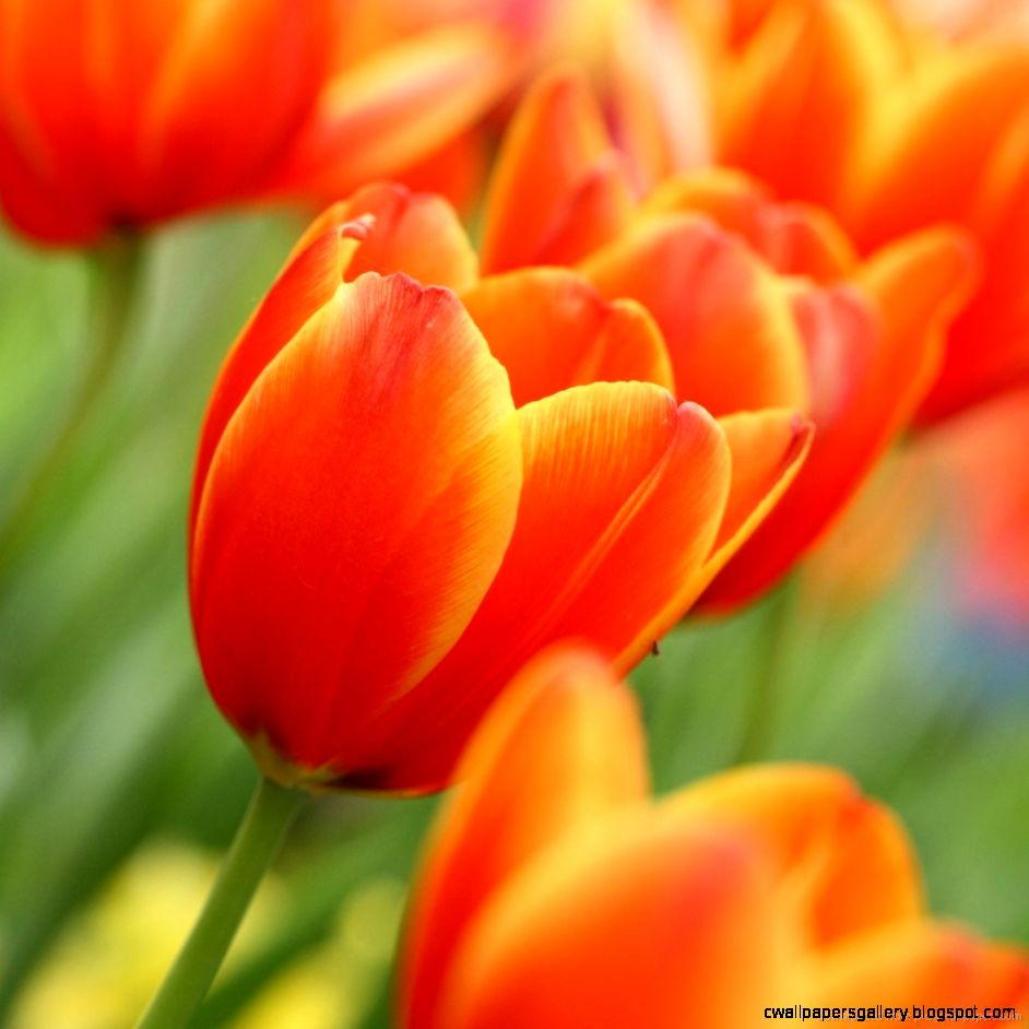 Orange Tulips wallpaper – wallpaper free download