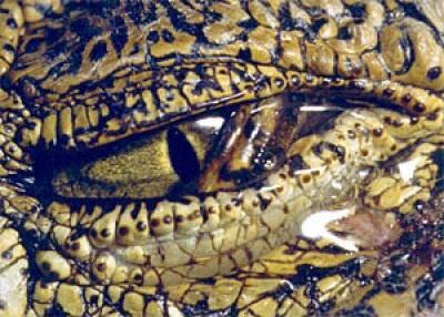 Los cocodrilos poseen glándulas para deshacerse de la sal