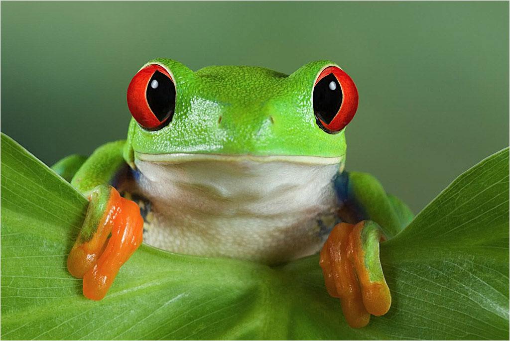 mascotapetit: Agalychnis callidryas o Rana verde de ojos rojos