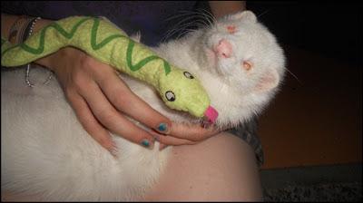 Fretti ferret leikkimässä albiino pentu