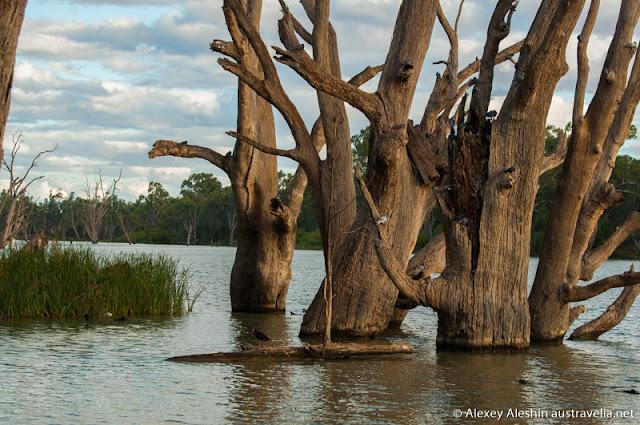 Flooded gum tree eucalyptus in Murray River near Mildura