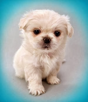 white-little-cute-dog