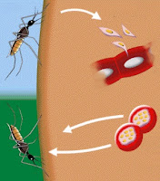 Enfermedades mosquito
