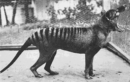 Most Amazing Extinct Land Animals Thylacine (Tasmanian Tiger)