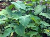 Mengenal Herbal Tales dan Khasiatnya