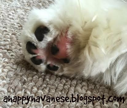 A Happy Havanese Wordless Wednesday is PAWsome