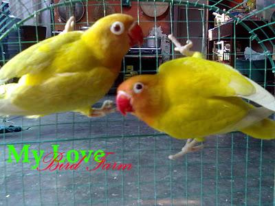 my lovebird farm penangkaran berbagai jenis lovebird asli