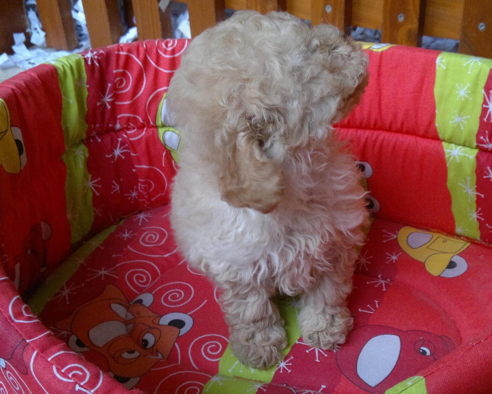 Cuccioli di tutte le razze cucciolo barboncino - Barboncino piccolo ...