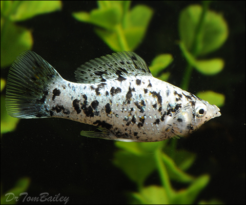 Nature lover for Molly fish babies