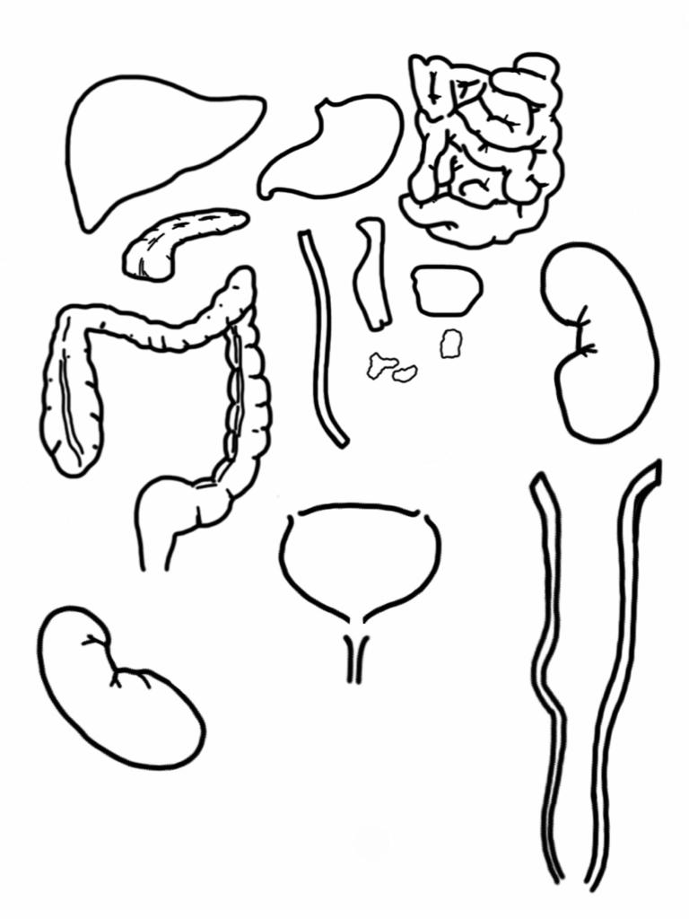 Dibujo para pintar del sistema digestivo - Imagui