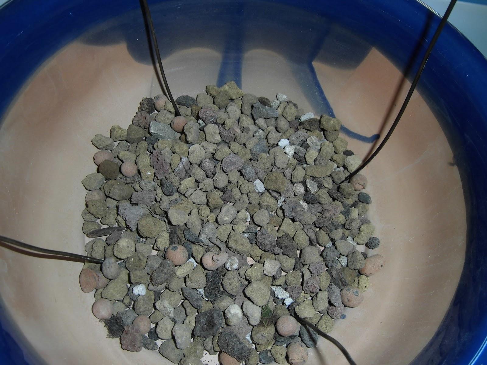 trasplantar olivo maceta
