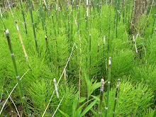 Equisetum hyemale-Rough Horsetail
