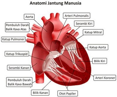 Patofisiologi Gagal Jantung - Anatomi