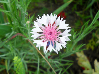 Bachelor's Buttons (Centaurea Cyanus) at White Rock Lake, Dallas, TX