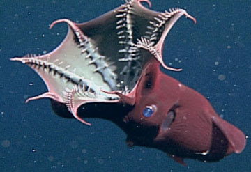 .::El Calamar Vampiro::. Calamar
