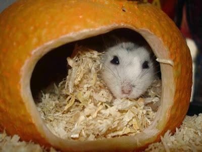 Raça Hamster Roborovski (Menor raça de hamster do mundo)