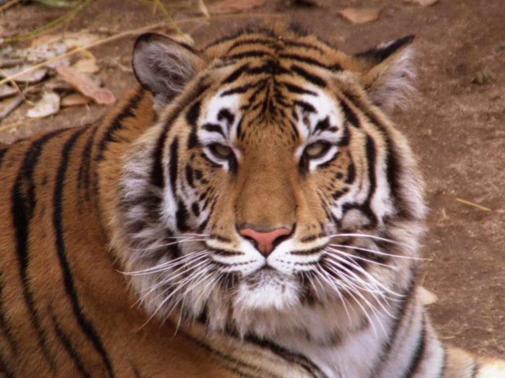 Y Tigers Are Endangered How to Save Endangered...