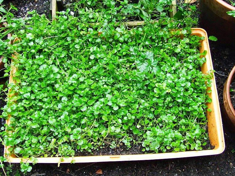 Watercress growing in a large tub