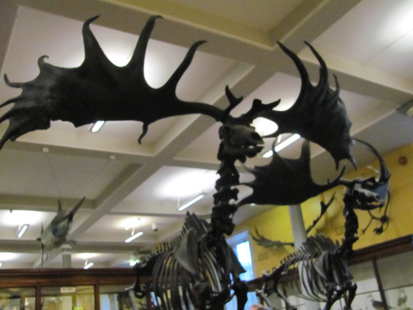 Giant Irish Deer at the Natural History Museum Dublin, Ireland