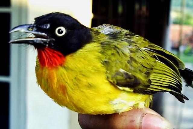 Gambar Cara Merawat Burung Kutilang Emas