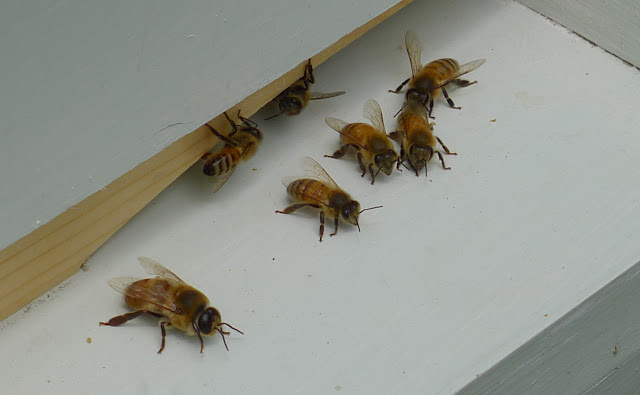 Bees at the hive entrance