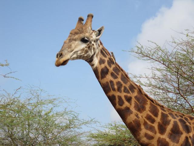 Jirafa en la Reserva de Bandia, Senegal