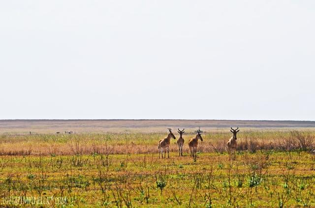 luzia pimpinella | travel tansania | safari in der serengeti - kuhantilopen