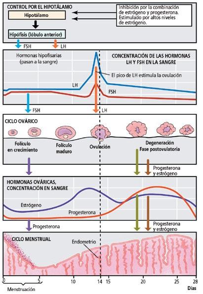 Definición del ciclo menstrual