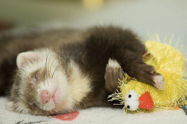 Mighty lists 16 cute ferrets